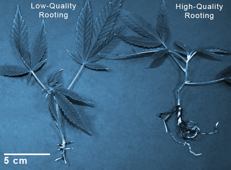 leaf-tips-rooting-quality